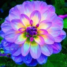 30 seeds Purple dahlia flower, Dahlias Seeds For DIY Home Garden