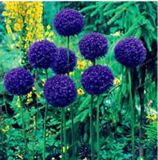 100 Seeds Giant Onion Seeds Allium Giganteum Flower Seed Flower plant