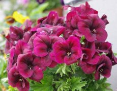 BELLFARM Geranium Dark Red Light Purplish Semidouble Flowers Seeds