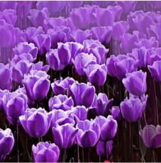 10PCS Purple Tulip Bulbs