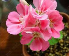 BELLFARM Geranium Peach Pink Red Compact Single Petals Flowers Seeds