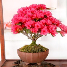 Bonsai Crape Myrtle Tree Red Flowers Seeds 30PCS (Rhododendron simsii)
