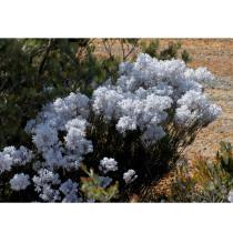 3PCS Conospermum incurvum - Plume smokebush Seeds