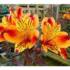 100 Seeds Alstroemeria seeds Peruvian Lily Alstroemeria Inca Bandit Princess lily