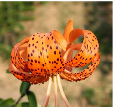 50 Pieces Tiger Skins Lilium Brownii Flower Seeds Balcony Bonsai Courtyard Plant Flower Seeds Lily Seeds
