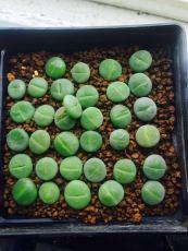 1-1.5CM Kermit Dinteranthus Green Lithop Bulbs Seedlings