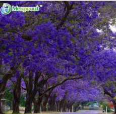 100% Genuine Purple Jacaranda Mimosifolia Tree Shrub Seeds 20PCS
