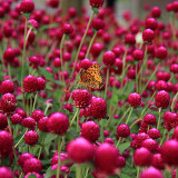 30PCS Qis Red Gomphrena Seeds Globe Amaranth Flowers