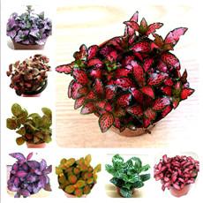 100 Seeds Fittonia verschaffeltii Seeds Mini Easy Planting Fun Indoor Flower Pots Seeds MIX