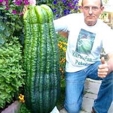 Turkey Giant Cucumber Seeds 50PCS/pack