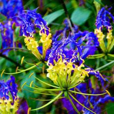 1PC GLORIOSA SUPERBA Blub Yellow Blue Glory Lily Flame Lily Flower
