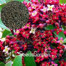 100 Pcs/Lot Indian Sandalwood Tree Seeds
