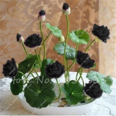 lotus seeds, bowl lotus water lily seeds rare Aquatic flower plant seed for home garden planting -5 pcs