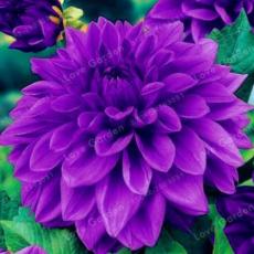 50PCS Purple Dahlia Bulbs