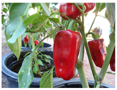 New Rare heirloom Aleppo pepper (pure strain) 25+ Fresh Organic Seeds