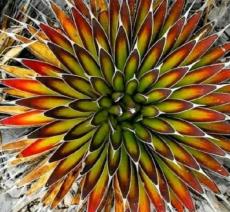 5 pcs Agave macroacantha seeds