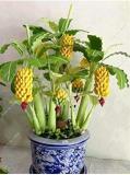 30 Pcs Dwarf Banana Seeds