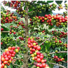 Heirloom Colorful Coffee Bean Plants, 10 + Seeds