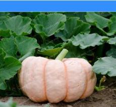 New Pink Pumpkin Vegetables Seeds