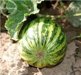 New Green Muskmelon Sweet Melon 20+ Seeds