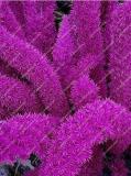 120PCS Purple Bamboo Foxtail Seeds