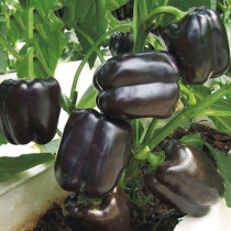 BELLFARM Giant Sweet Pepper Seeds 200PCS Rose Red Black Yellow White Capsicum Vegetables High Yield
