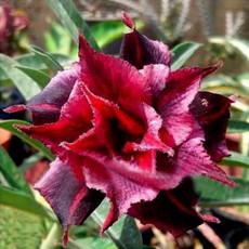 BELLFARM 20PCS Adenium Desert Rose Seeds 5-Layer Black Dark Red Petals with Long Flower Tails