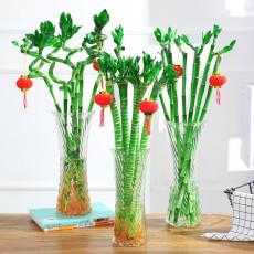 BELLFARM 50PCS Lucky Bamboo Seeds Home Garden Decoration Perennial Indoor Plant