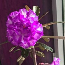BELLFARM Adenium Desert Rose Seeds White Purple Double Flowers 5-Layers