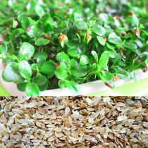 Cedrela Sinensis Seeds Sprouting Vegetables Seedling Seeds Tender Leaves of Chinese Toon