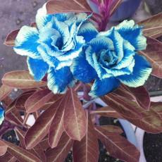 BELLFARM Desert Rose Adenium Seeds Sky Blue Double Petals with White Edge Flowers