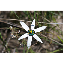 Rare Spiloxene Capensis Flower Seeds South Africa Flowers Six White Open Petals with Black Blue Centre