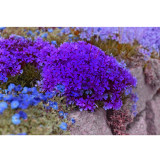 Heirloom Purple Mountain Phlox Seeds 120PCS Wildflowers Flowers