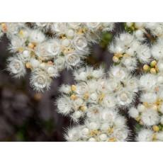 Verticordia eriocephala Seeds White Lambswool Wild Cauliflower Cream White Flowers