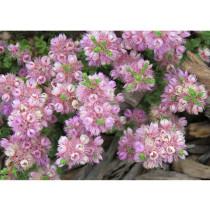 Verticordia halophila Seeds Salt-loving Featherflower Pink Salt-loving Verticordia