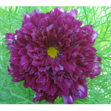 Purple (Mixed) Cosmos Bipinnatus Coreopsis Seeds Purple Double Flowers also Mix other Colors Double Flowers