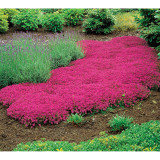 Creeping Thyme Seeds Rock Cress Seeds Perennial Ground Cover Flower Pink Red Colors