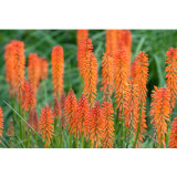Kniphofia 'Elvira' Seeds Red Hot Poker Torch Lily 'Elvira' Flowers