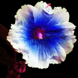 Hollyhock Flowers Dark Blue White Single Petals Big Flowers Althaea rosea Perennial Rooted Plant