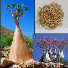 Adenium socotranum seeds