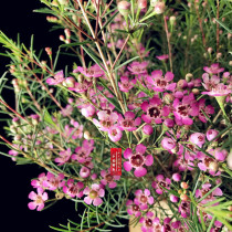 Geraldton Wax Seeds (Chamaelaucium uncinatum)