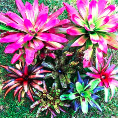 100Pcs Bonsai Colorful Cactus Bromeliad Tillandsia Bulbosa Air Plant Easy Growing Succulent Bonsai for Home Garden