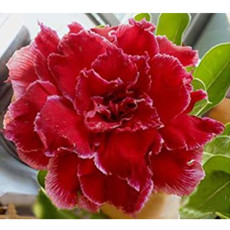 BELLFARM Adenium Dark Red Petals with Thin Whitish Pink Edge Flower Seeds, 8-Layers Desert Rose Flowers