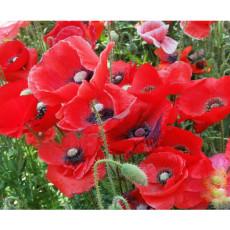 BELLFARM Papaver Rhoeas Red Corn Poppy Seeds, 100000 SEEDS/pack, Flanders Poppy Corn Rose Flowers