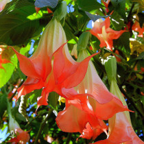 BELLFARM Datura Plants Herbs Flower Seeds Mixed 9 Colors Datura Trumpet Flowers, 30 Seeds/Pack, Professional Package