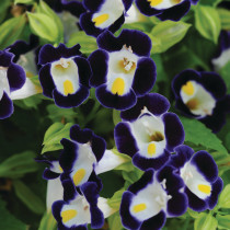 BELLFARM Mixed 4 Colors Torenia Fournieri Seeds, 200 Seeds / Pack, Red Pink Black Blue Wishbone Flowers