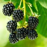 BELLFARM Jumbo Thornless Blackberry Seeds, 100 SEEDS/pack, Juicy Sweet Organic Healthy Fruits