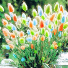 BELLFARM Rainbow Colorful Rabbit Tail Grass Semillas Seeds, 100 Seeds / Pack, Garden Bunny Tail Herbal Decoration Plants