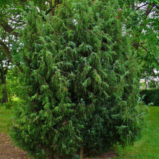 BELLFARM Juniperus Communis Seeds, 50 Seeds / Pack, Common Juniper Trees Evergreen Plants