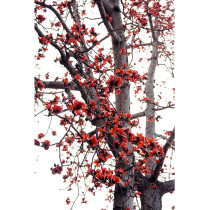 BELLFARM Bombax ceiba Seeds Cotten Tree Red Silk-cotton Tree, 30 Seeds/Pack, Red Cotton Tree Kapok